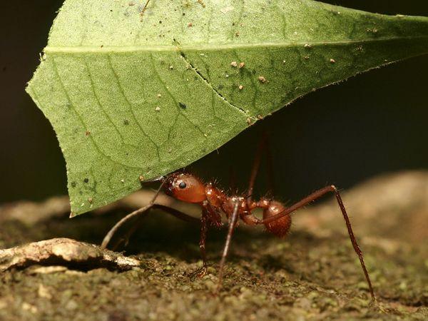 leaf-cutter-ant_604_600x450