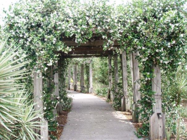fragrant_Confederate-jasmine