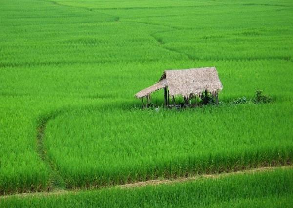 2006_1002_nan_thailand_rice