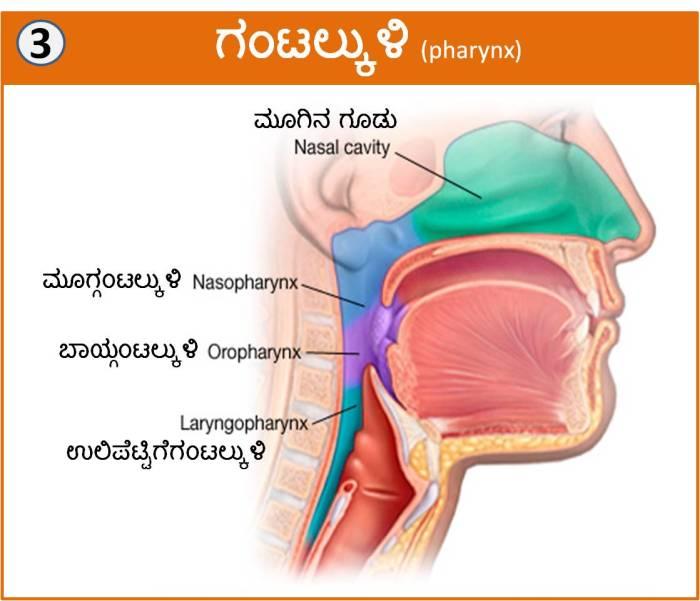respiratory_system_titta3
