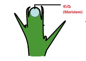 apical_meristem