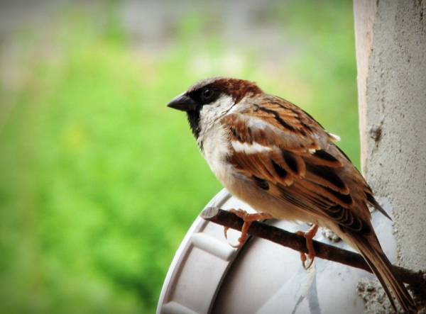 Indian_Sparrow