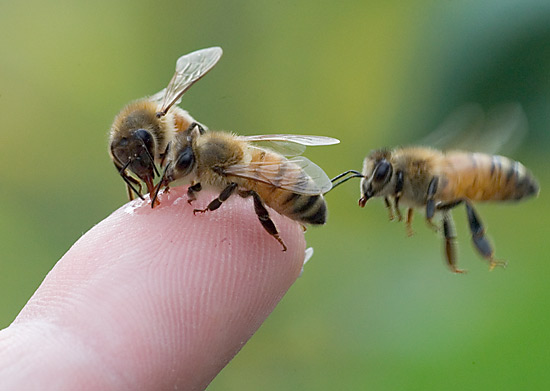 three.bees.finger