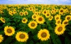 sunflower-sunflower-field-flora-field-87056