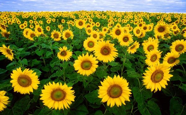 sunflower-sunflower-field-flora-field-87056